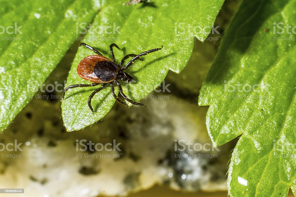 The castor bean tick (Ixodes ricinus) royalty-free stock photo