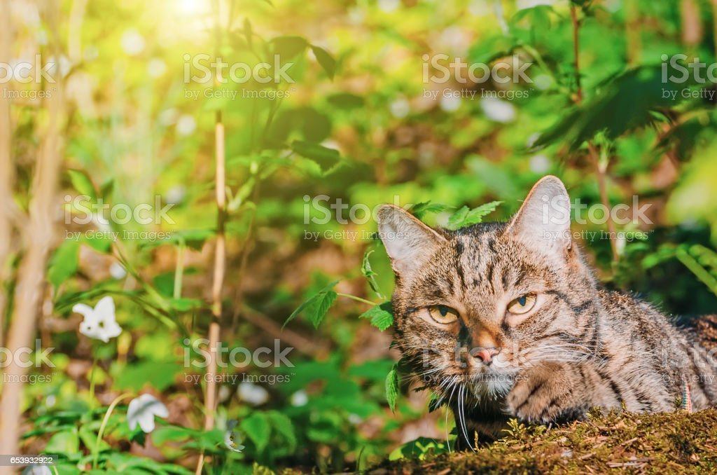 The cat hunts in the spring forest the green grass stock photo