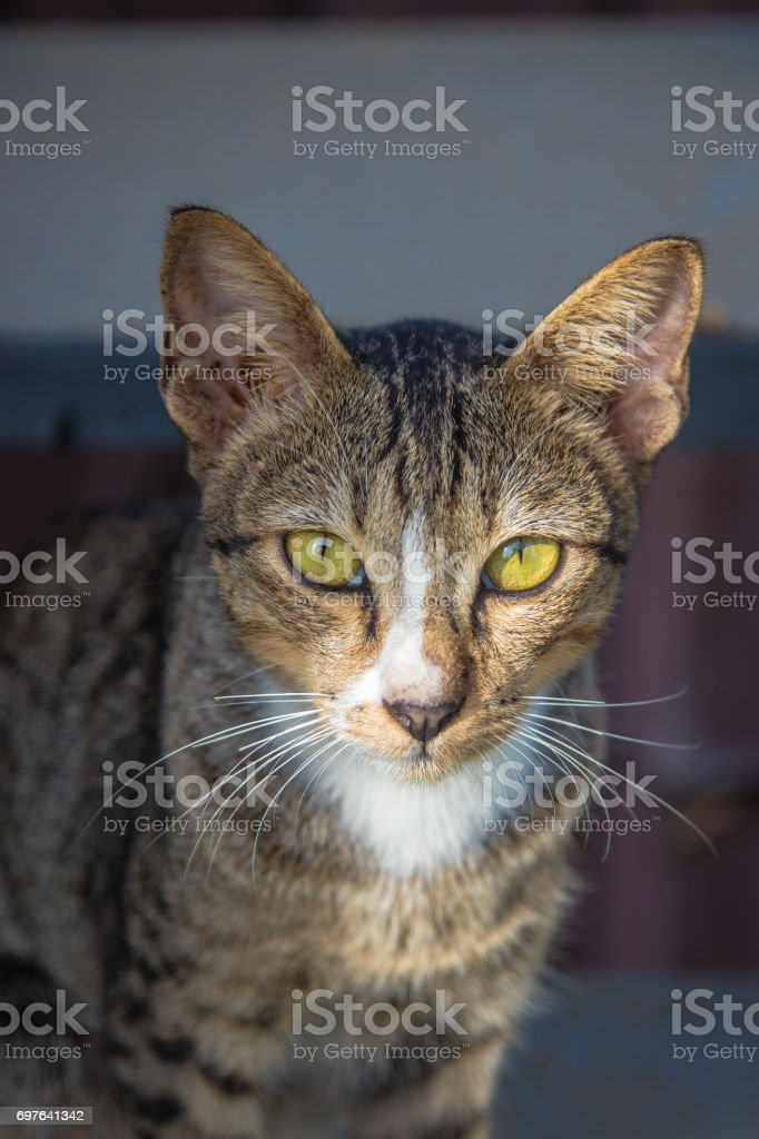 The cat is gray color looking to me. stock photo