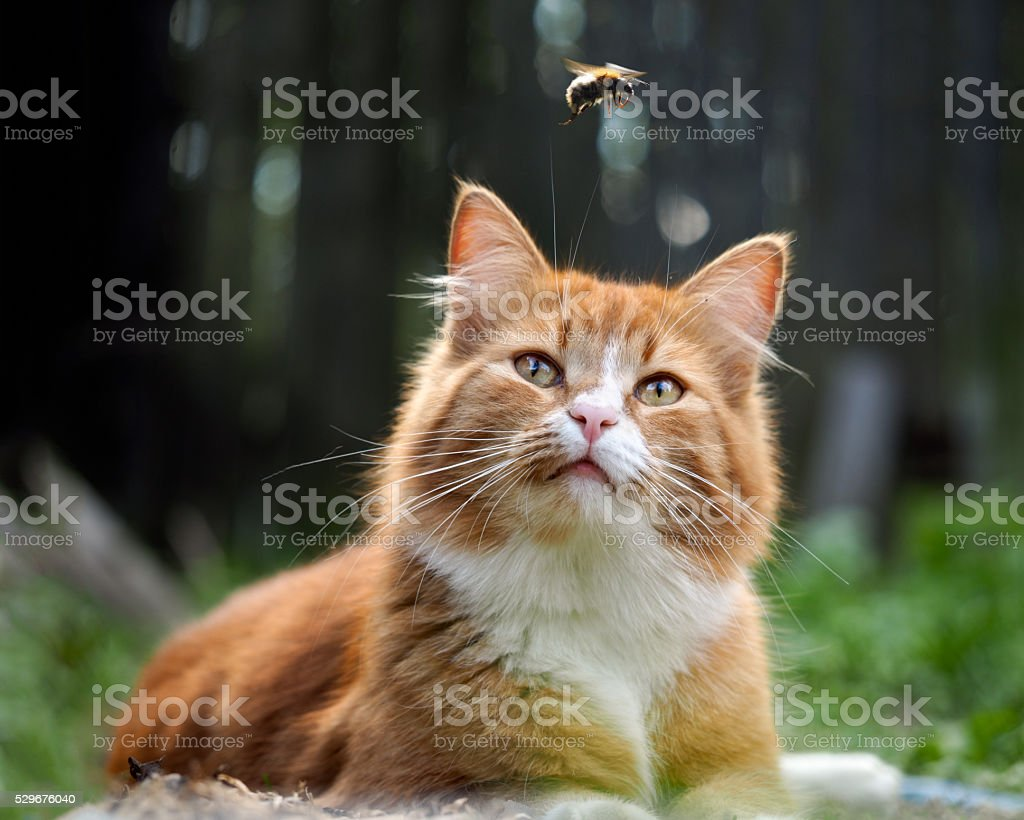 The cat is watching the flight of the bumblebee. Cat large, red and...