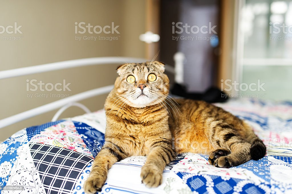 The cat of the British breed lies on a sofa stock photo