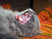 The cat yawns widely. It can be seen to fall