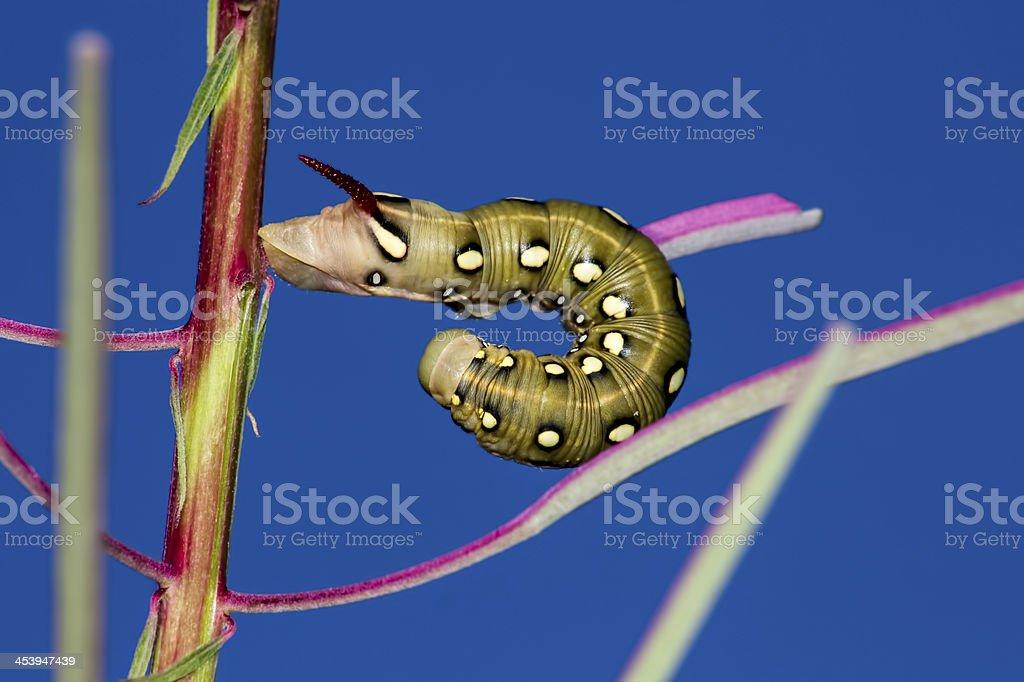 The catepillar larva royalty-free stock photo