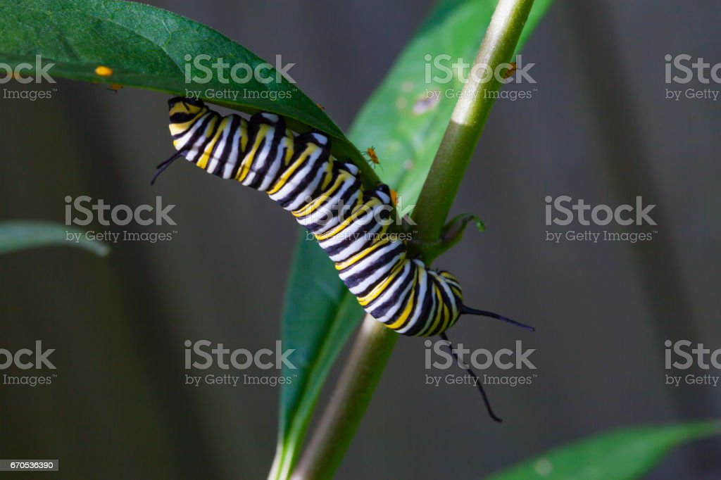 The caterpillar of a monarch butterfly stock photo