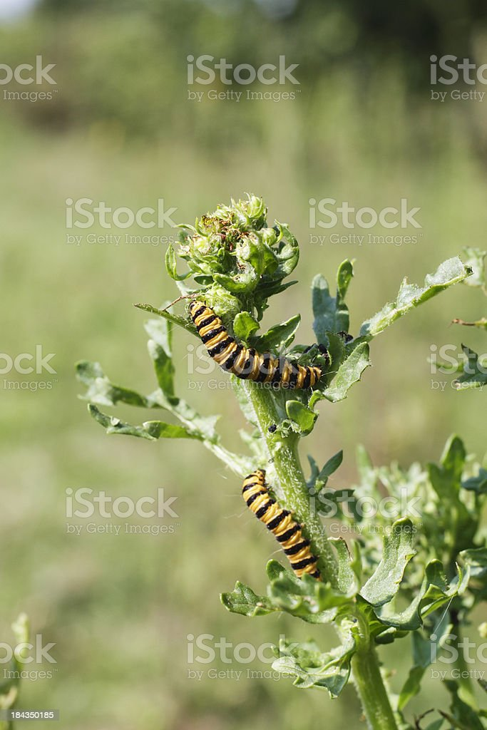 Two caterpillars cinnabar moth Tyria jacobaeae on common ragwort stock photo