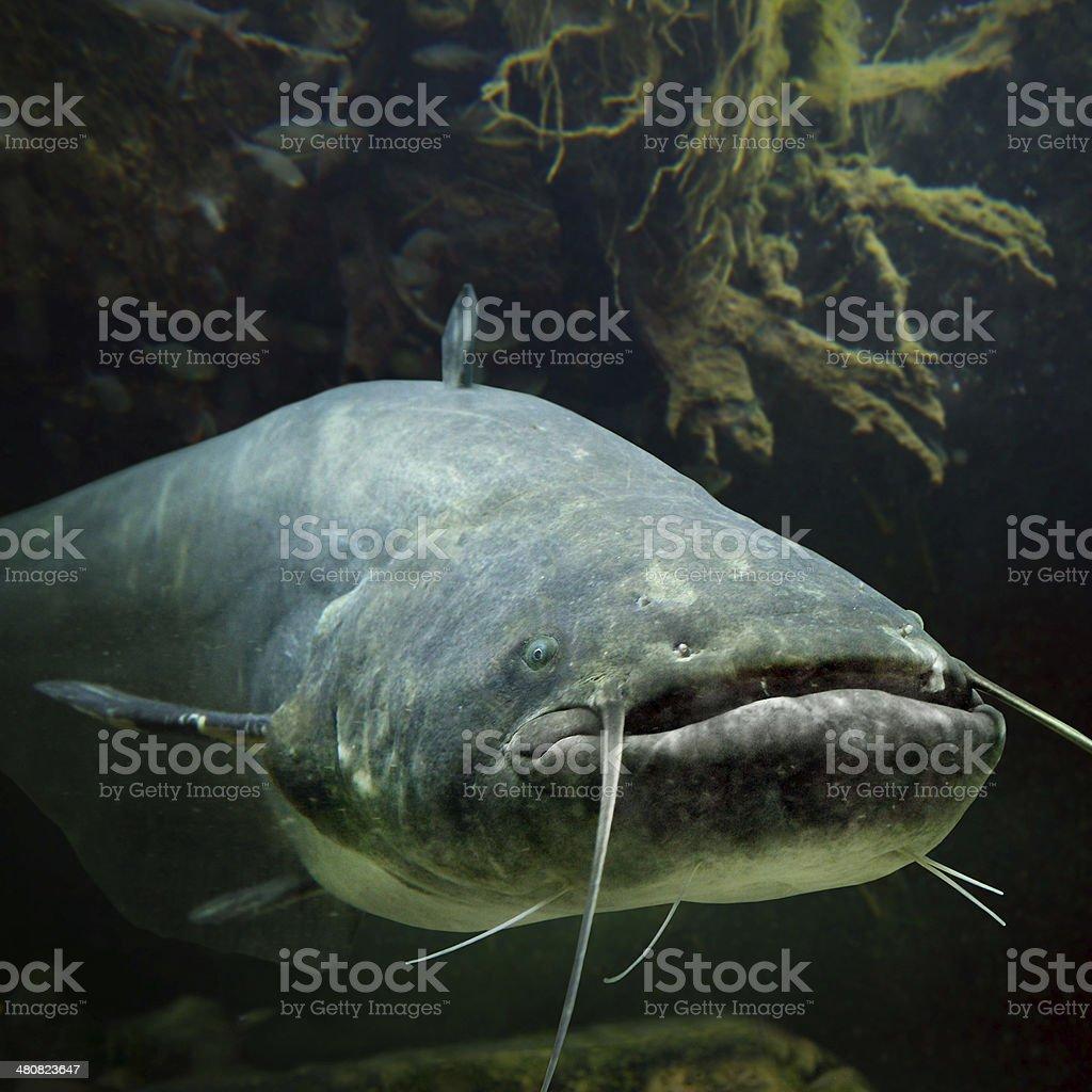 The Catfish (Silurus Glanis). stock photo