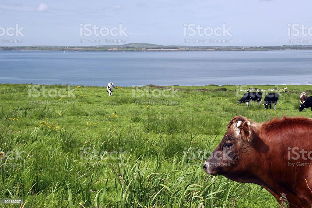 the cattle heaven royalty-free stock photo