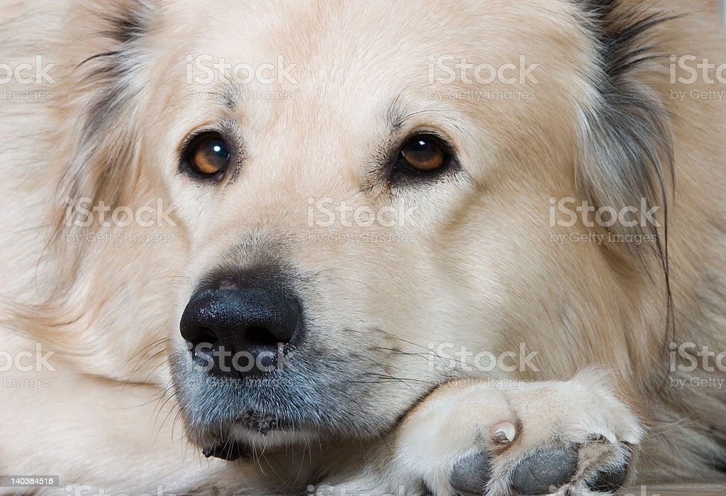 The Caucasian sheep-dog royalty-free stock photo