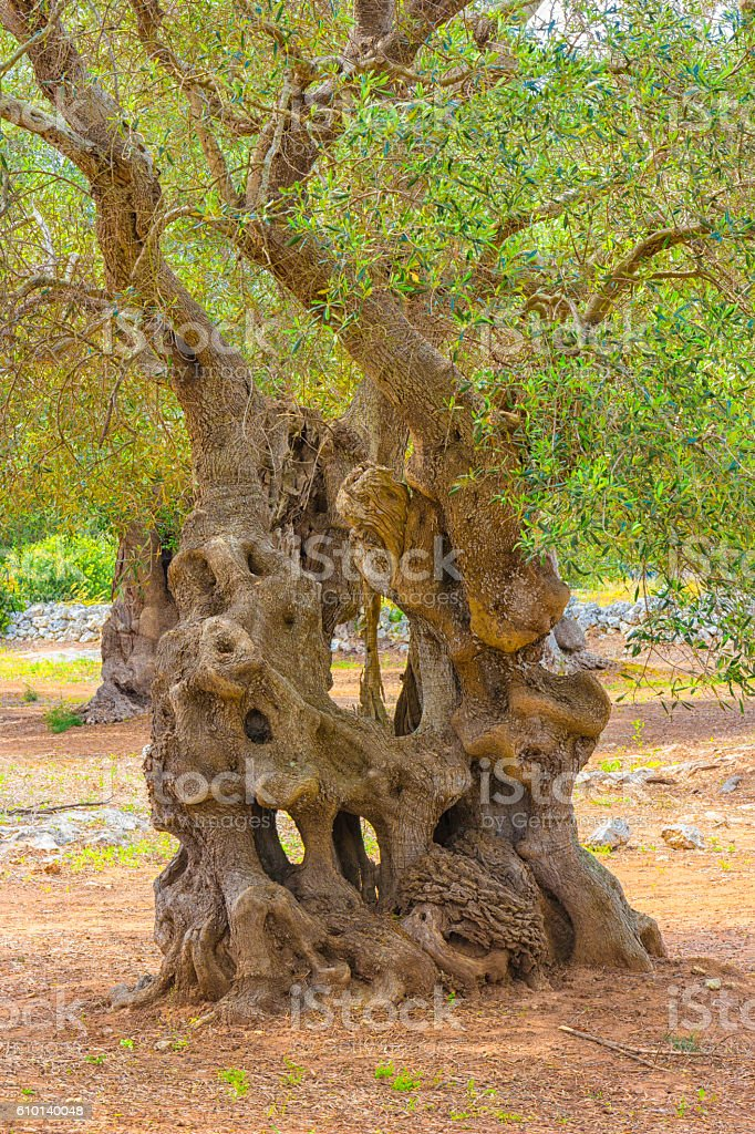 The centuries old olive tree stock photo