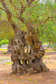 The centuries old olive tree