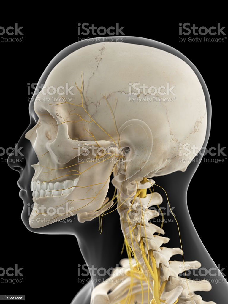 The cervical nerves stock photo
