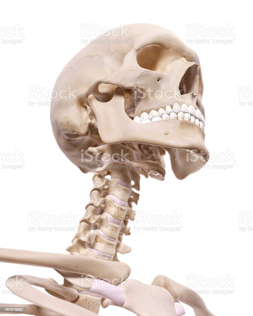 The Cervical Spine And Skull stock photo 482979682   iStock