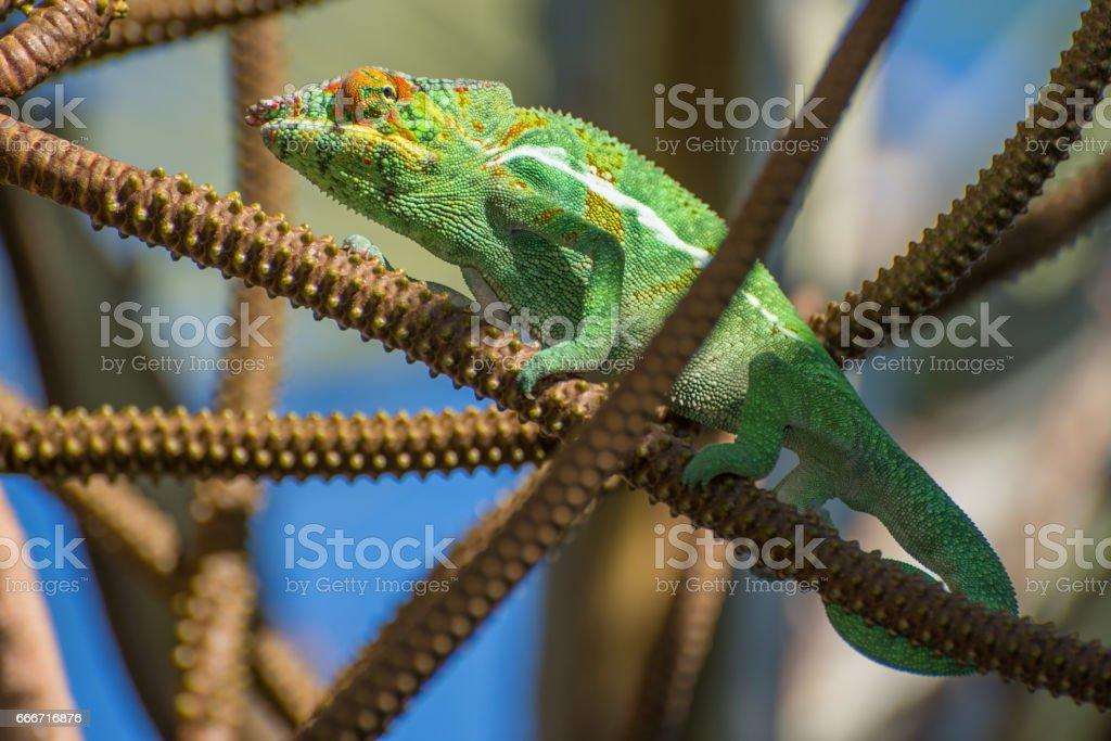 the Chameleon stock photo