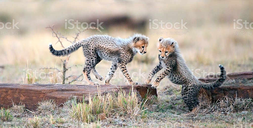 The Cheetah cubs stock photo
