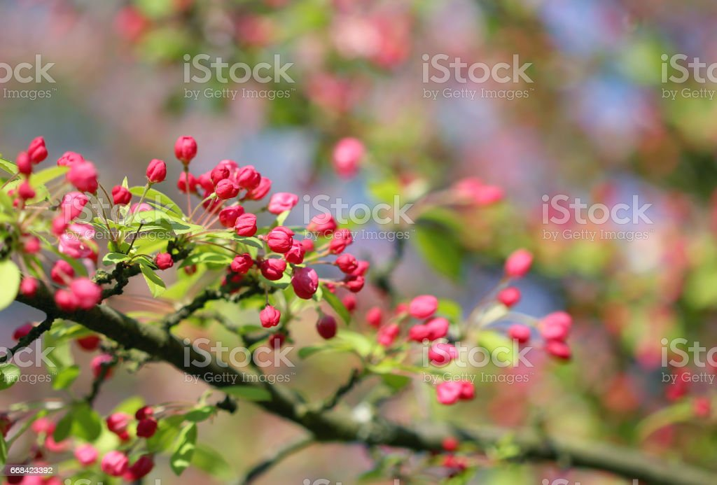 The cherry blossom in the bright blue sky stock photo