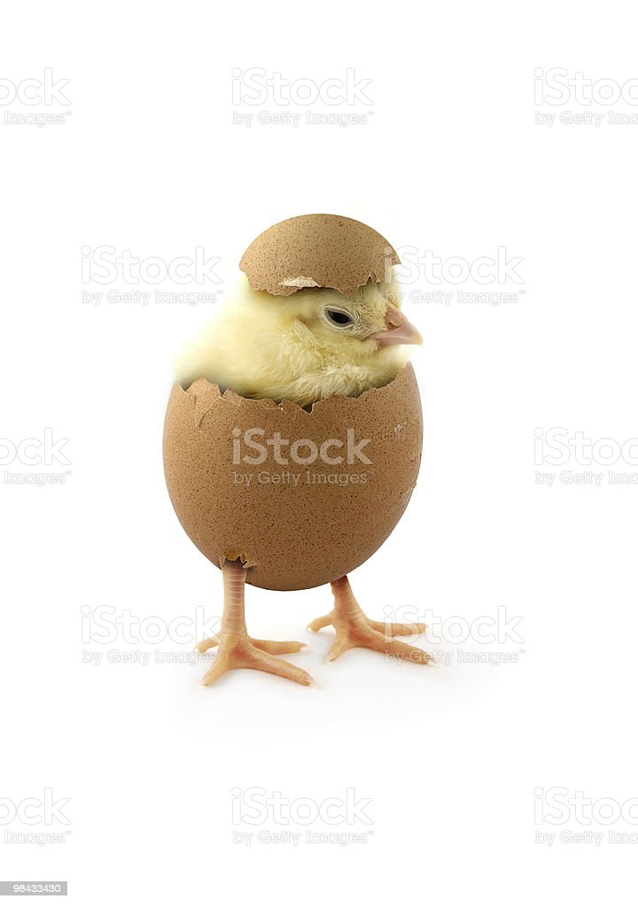 The chick stock photo