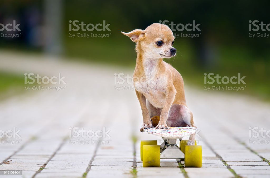 The chihuahua dog sitting on a white skateboard with white wheels. stock photo
