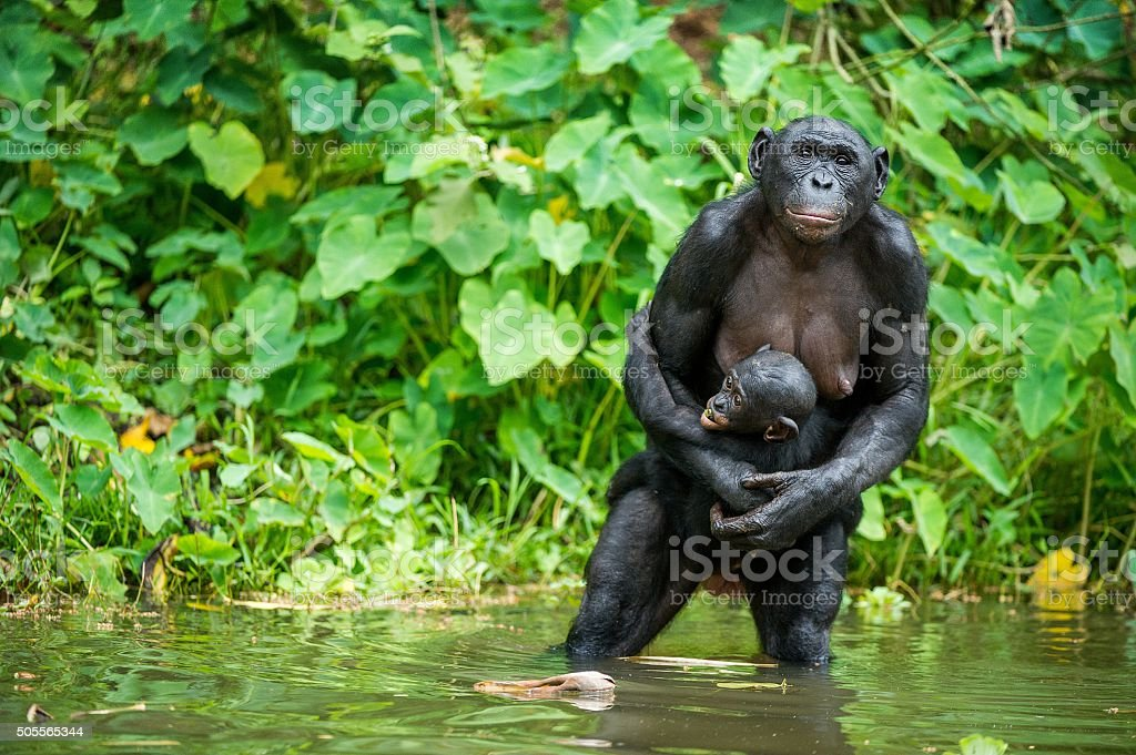 The chimpanzee Bonobo with cub in the water stock photo