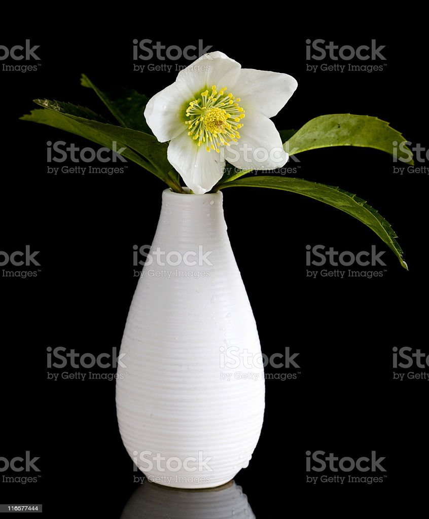 The Christmas Rose stock photo