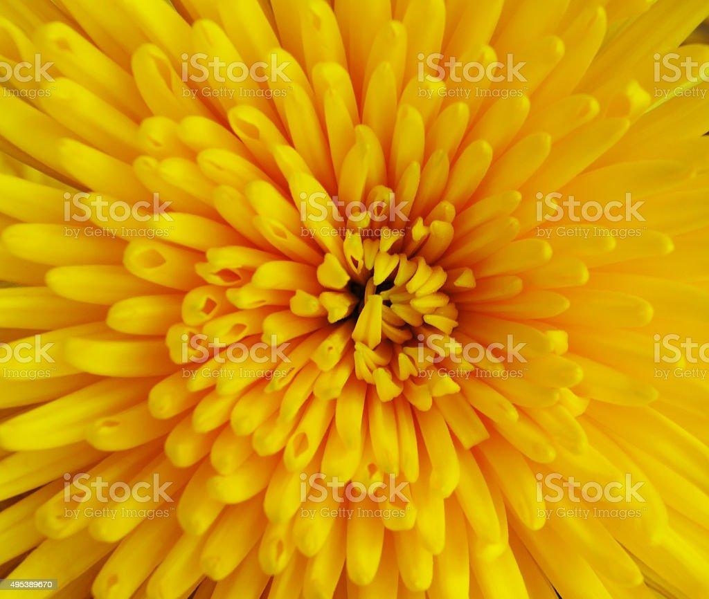 The chrysanthemum flower stock photo
