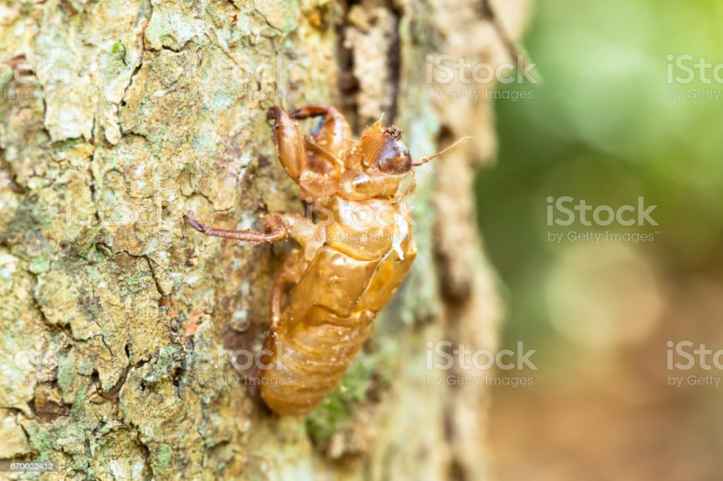 The Cicada's Remains stock photo