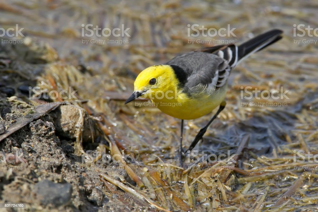 The citrine wagtail (Motacilla citreola) on the water. stock photo