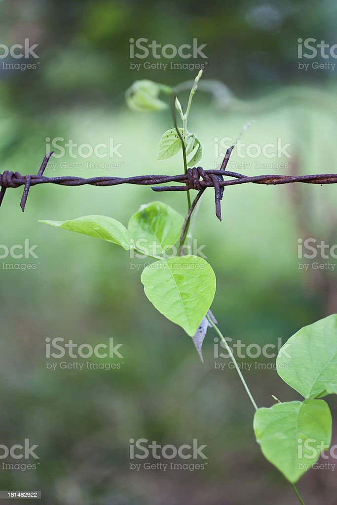 The climber and barbed wire royalty-free stock photo