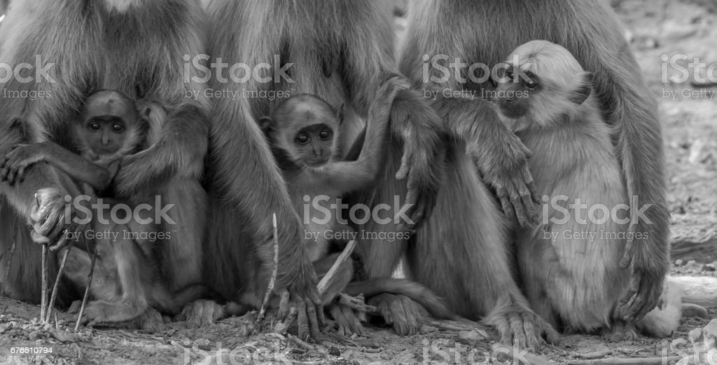 The clinging children - Langur stock photo