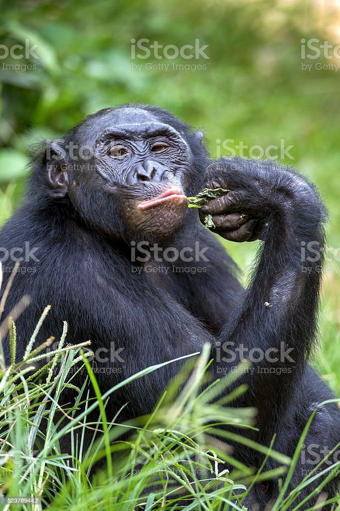 The close up portrait of Bonobo stock photo