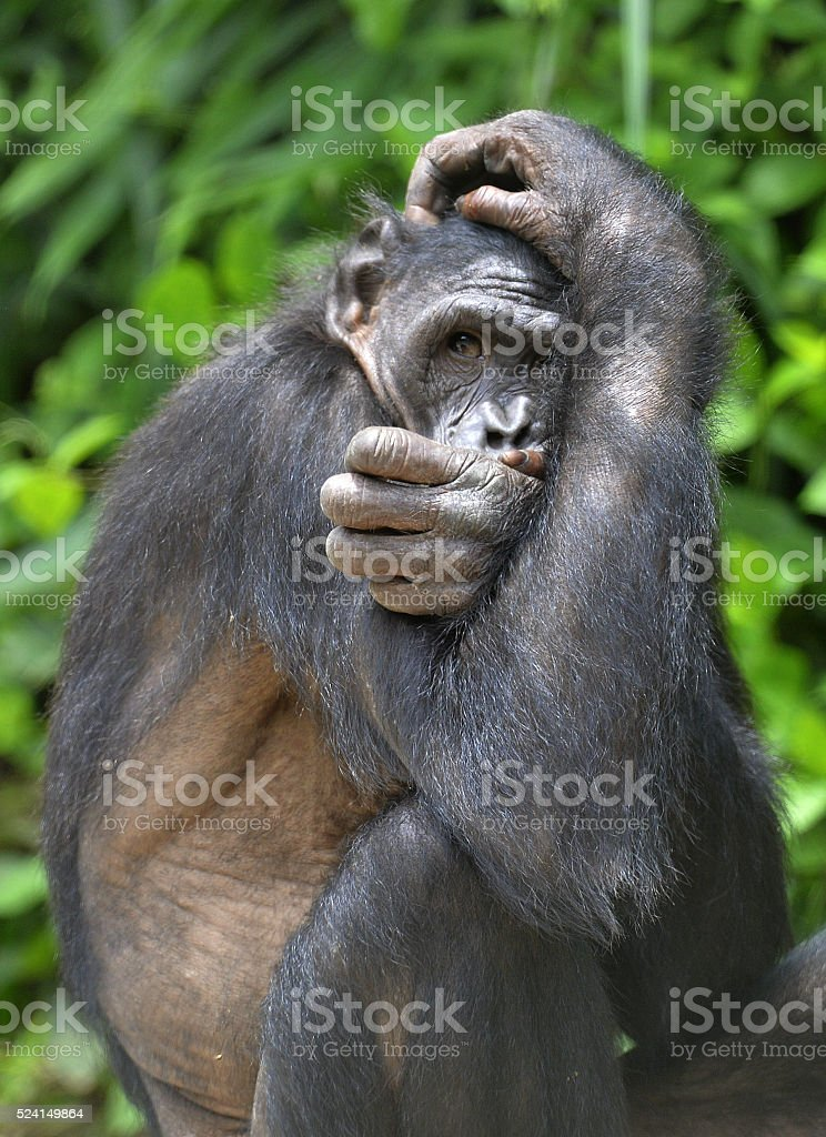 The close up portrait of female Bonobo stock photo