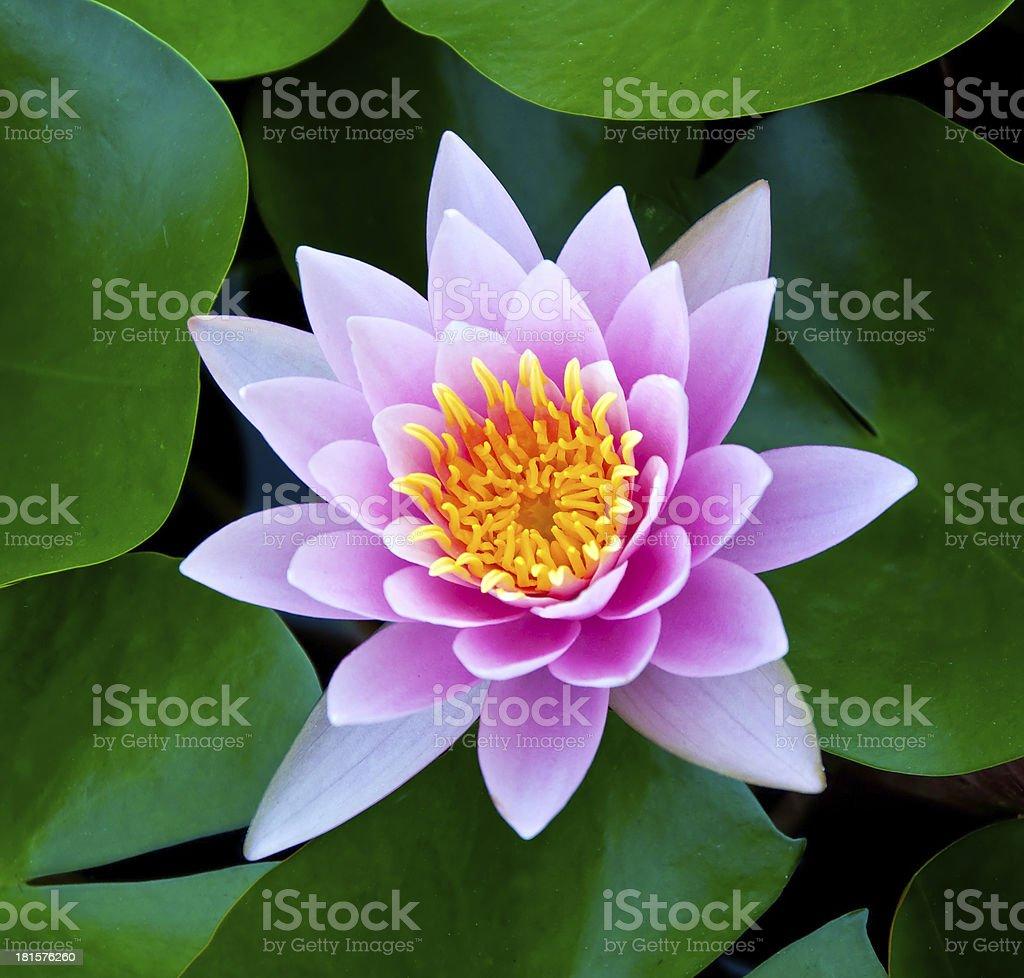 The Closeup lotus on pond royalty-free stock photo
