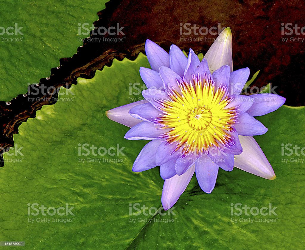 The Closeup of lotus royalty-free stock photo
