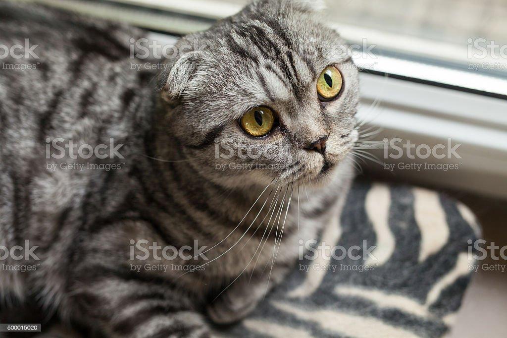 The closeup of sitting dun cat next to the window stock photo