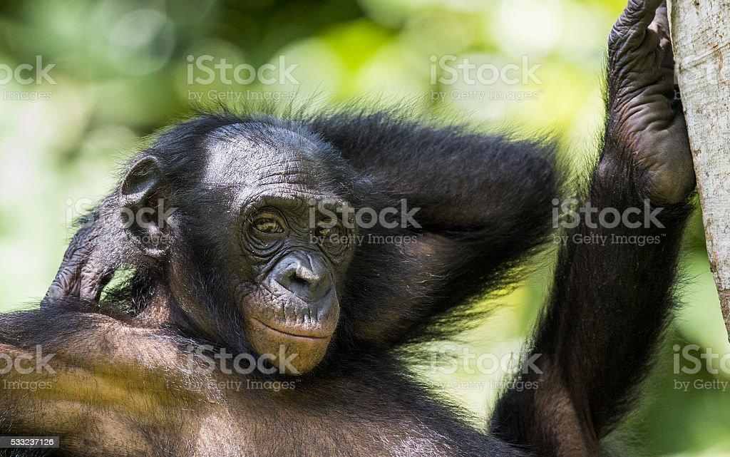 The close-up portrait of juvenile Bonobo stock photo