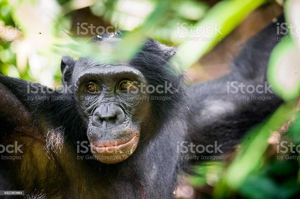The close-up portrait of male Bonobo in natural habitat. stock photo
