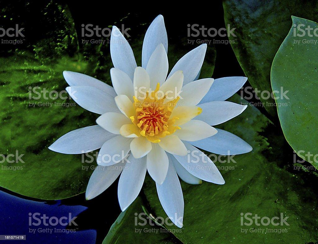 The Closeup white lotus on pond royalty-free stock photo