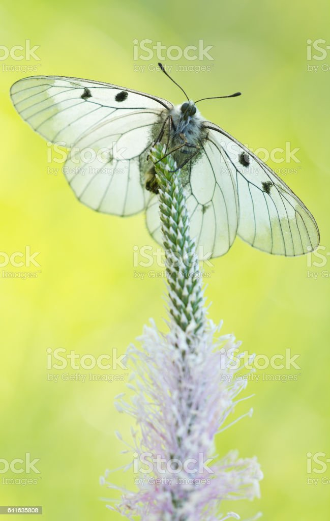 The Clouded Apollo (Parnassius mnemosyne) in nature stock photo