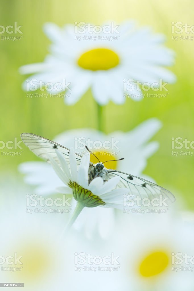 The Clouded Apollo (Parnassius mnemosyne) on a daisy flowers stock photo