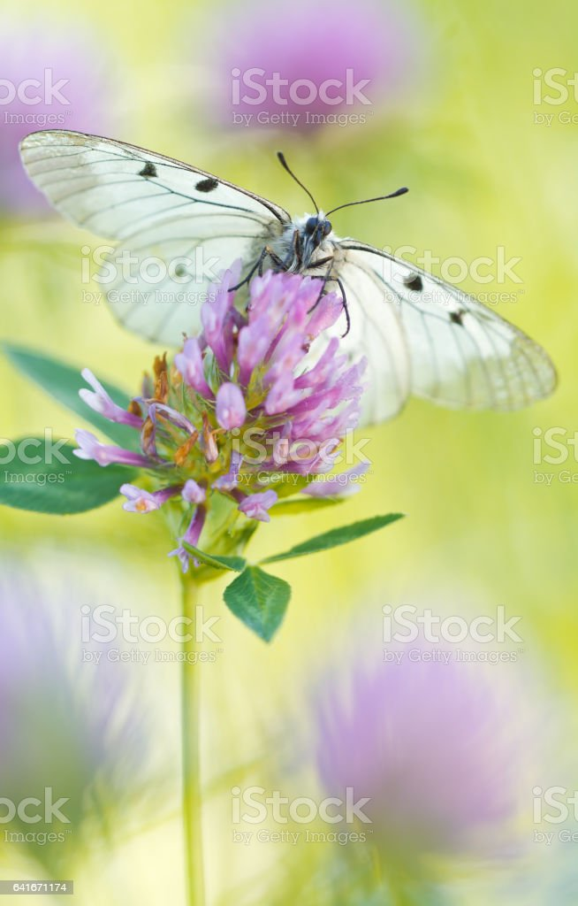 The Clouded Apollo (Parnassius mnemosyne) on a flowers stock photo