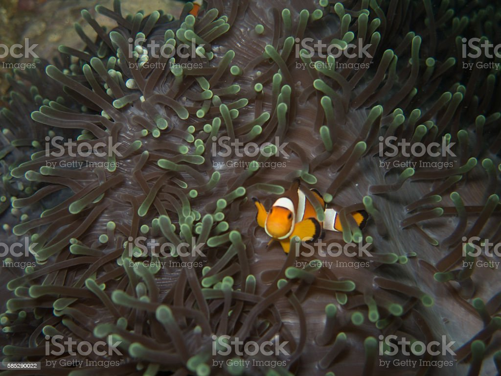 the clown fish in soft coral in Myanmar divesite stock photo
