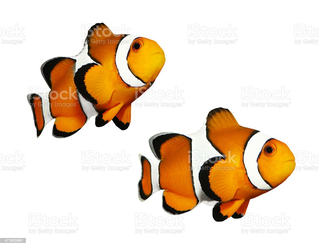 The Clownfish (Amphiprion ocellaris). royalty-free stock photo