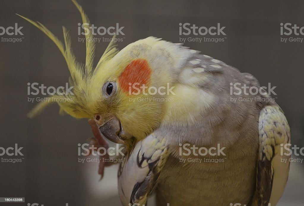 The Cockatiel. royalty-free stock photo