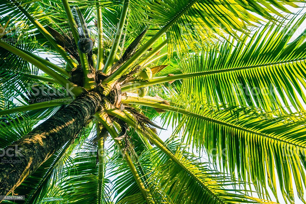 The coconut tree is on stock photo