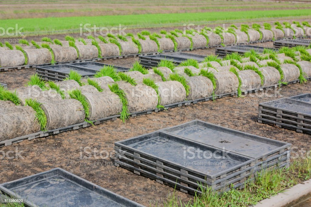 The coil seedlings in preparation for transport to the next crop in the field. stock photo