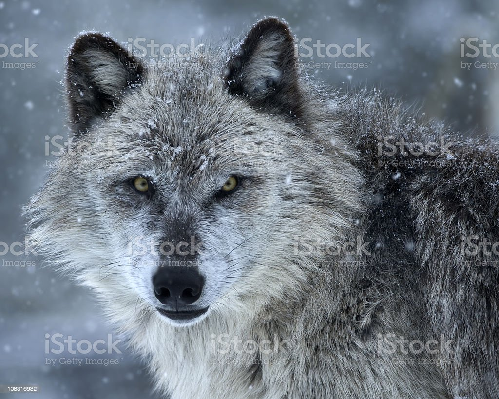 The cold stare royalty-free stock photo