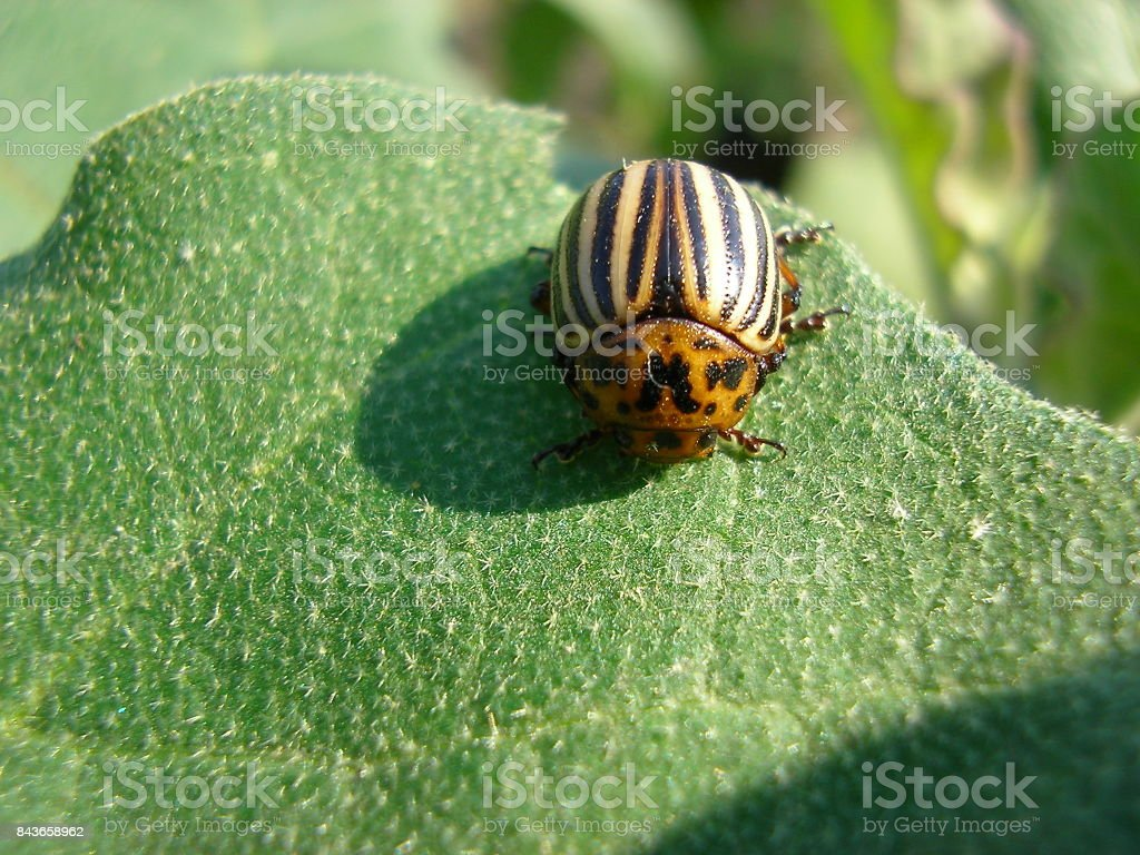 The Colorado beetle sits on a potato leaf and eats stock photo