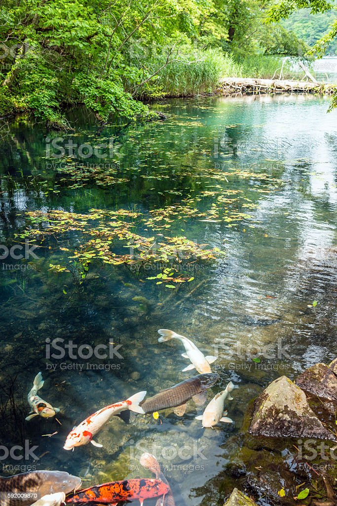 The colored carp swims in the lake stock photo