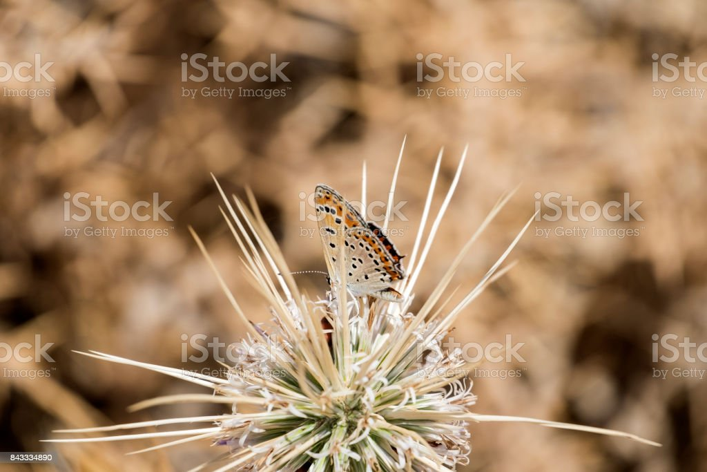 The common blue butterfly (Polyommatus icarus) on thorny flower Globe Thistles (Echinops adenocaulos) stock photo