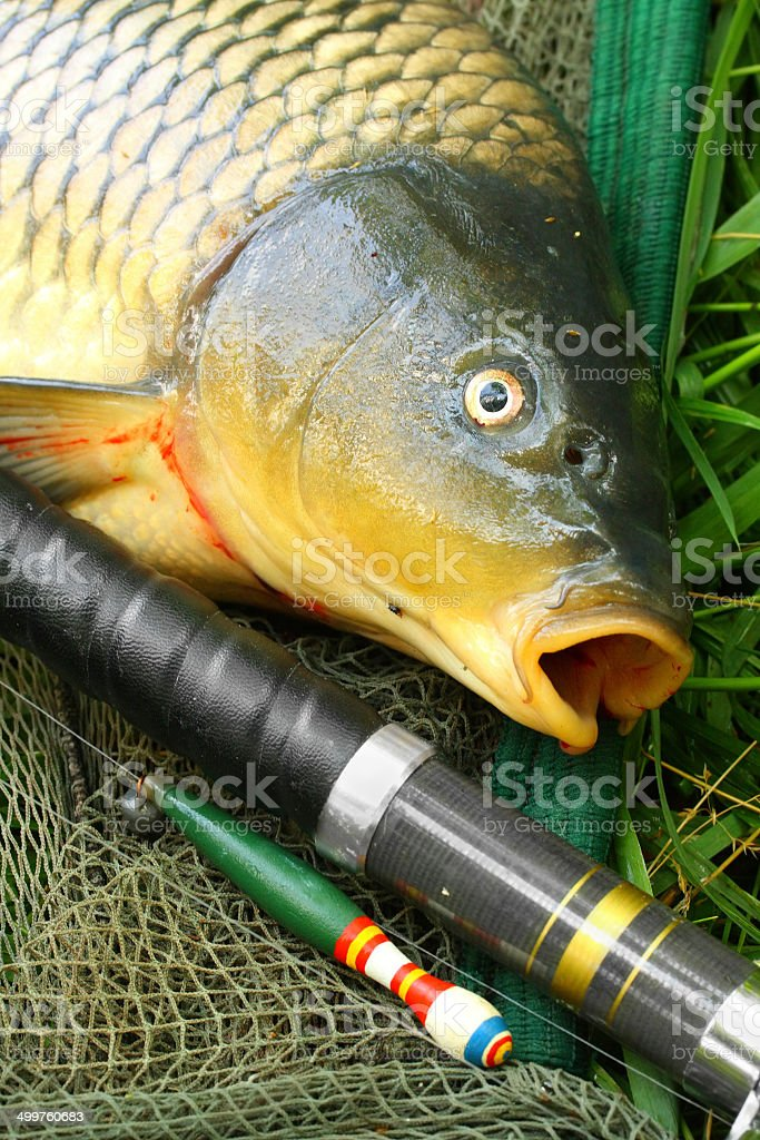 The Common Carp (Cyprinus Carpio). royalty-free stock photo