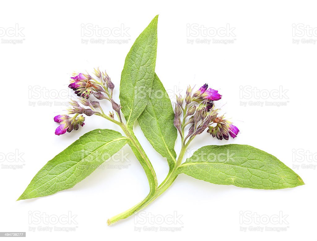 The Common Comfrey. stock photo